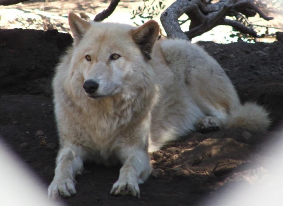 White wolf shepherd - photo#10